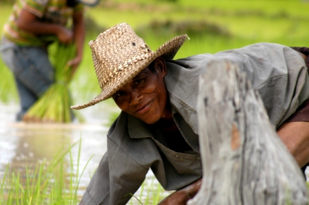 Man planting rice in the Angkor temples area