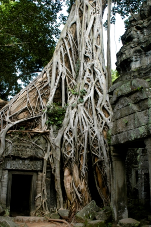 Roots of strangler figs inside the Ta Prohm temple