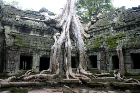 Part of Ta Prohm destroyed by strangler figs